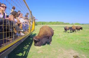 Bison-accueil-activites